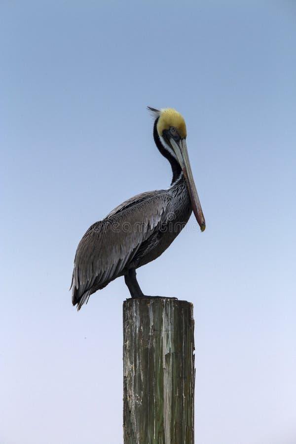 Bruine Pelikaan op een Pijler in het Eiland van de Zuidenaalmoezenier, Texas royalty-vrije stock afbeelding