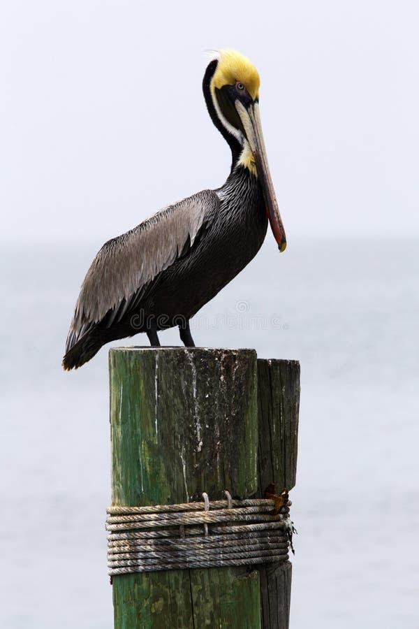 Bruine Pelikaan op het Dok in het Eiland van de Zuidenaalmoezenier, Texas stock fotografie