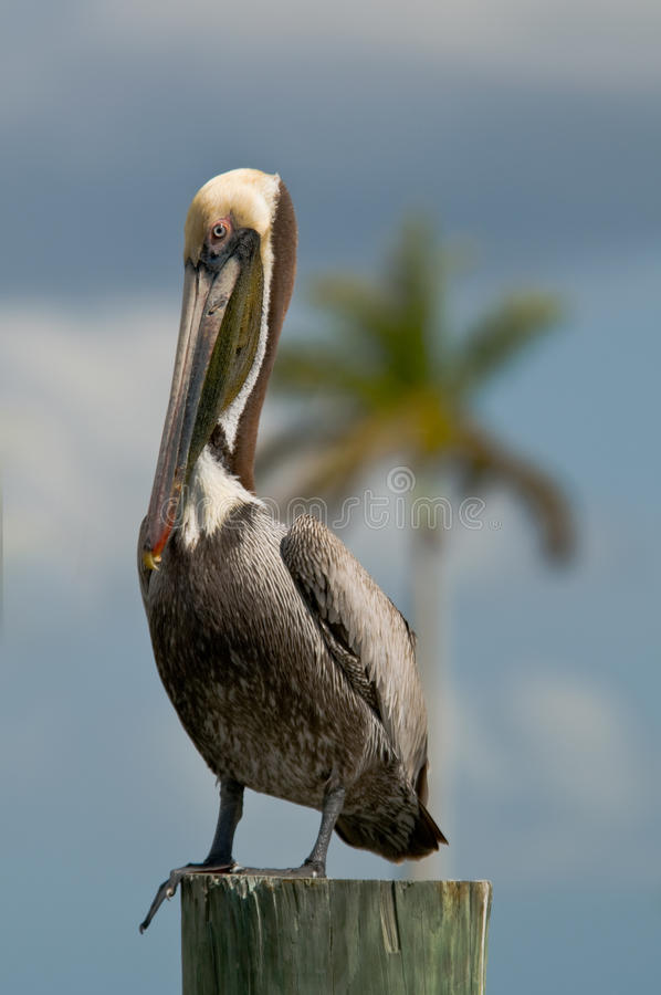 Bruine Pelikaan op zich het opstapelen in Florida stock foto's