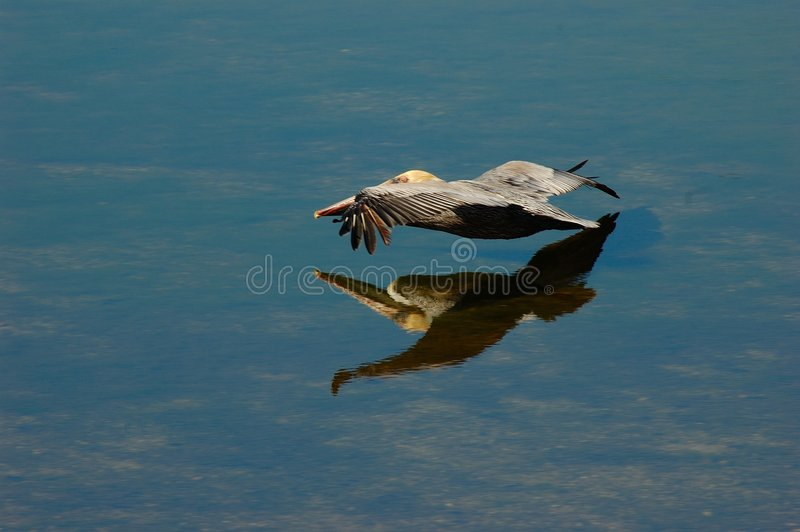 Bruine Pelikaan - Pelecanus Occidentalus - tijdens de vlucht stock afbeeldingen