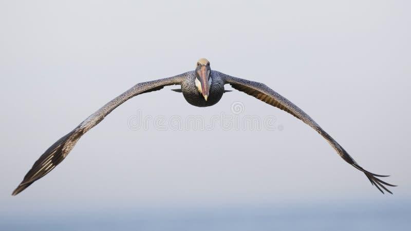 Bruine Pelikaan tijdens de vlucht - St. Petersburg, Florida stock foto