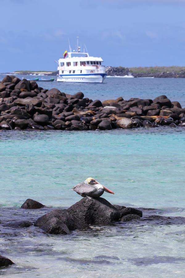 Bruine pelikaanzitting op een rots op het punt van Suarez, Espanola-Eiland stock foto's