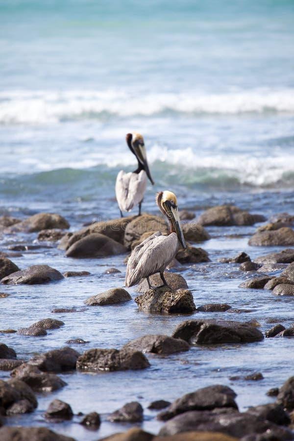 Bruine pelikanen royalty-vrije stock fotografie