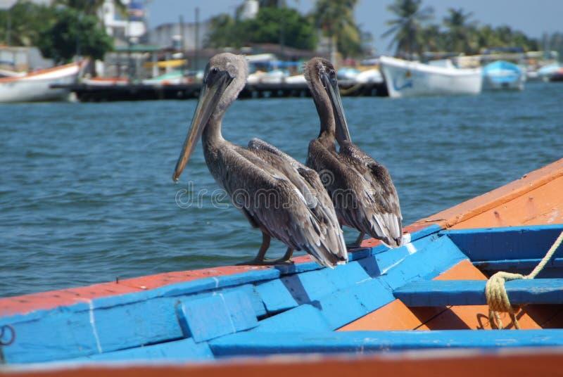 Bruine pelikanen in Caraïbische overzees naast de tropische paradijskust royalty-vrije stock foto's