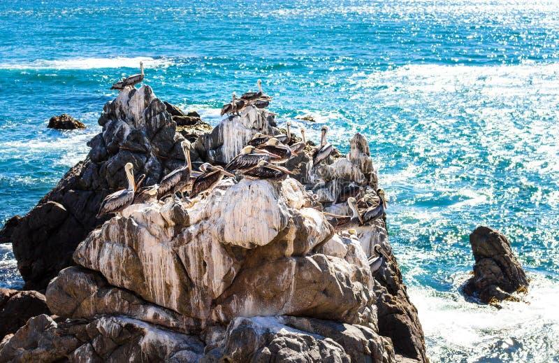 Bruine pelikanen die op de rotsen in Chili rusten royalty-vrije stock foto's