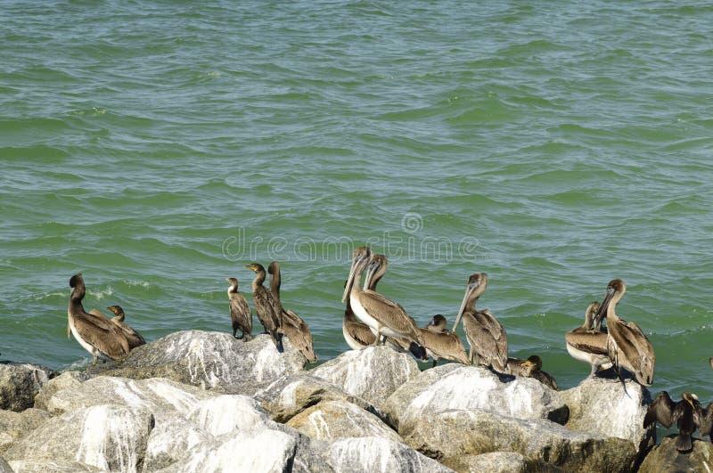 Bruine pelikanen en aalscholvers stock afbeelding