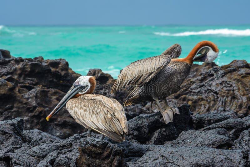Bruine pelikanen, Isabela-eiland, Ecuador royalty-vrije stock afbeeldingen