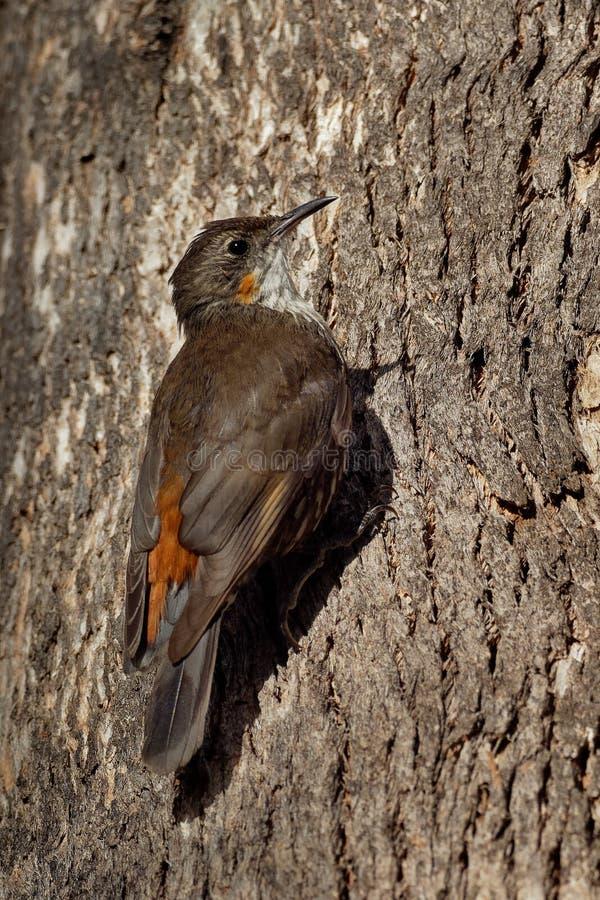 Bruine picumnus kleine vogel van Treecreeper - Climacteris-, grootste Australasian treecreeper royalty-vrije stock afbeeldingen