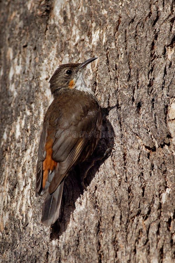Bruine picumnus kleine vogel van Treecreeper - Climacteris-, grootste Australasian treecreeper, endemisch aan oostelijk Australië royalty-vrije stock afbeeldingen