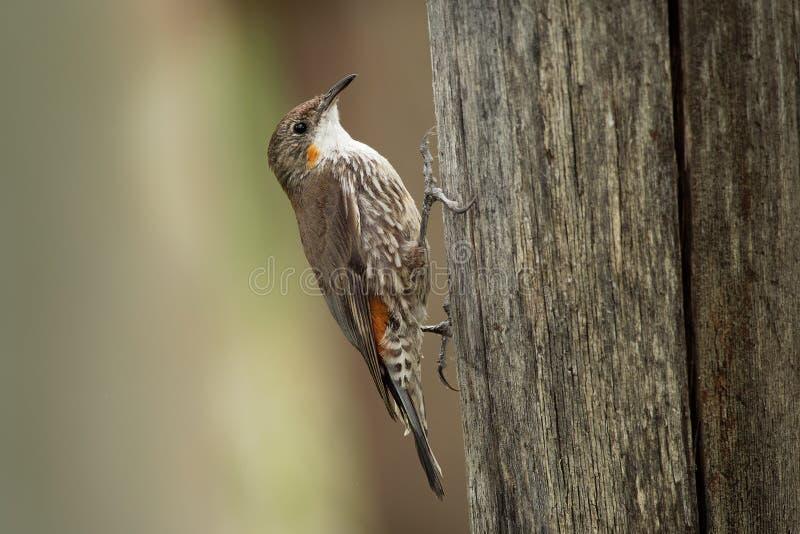 Bruine picumnus kleine vogel van Treecreeper - Climacteris-, grootste Australasian treecreeper, endemisch aan oostelijk Australië royalty-vrije stock afbeelding