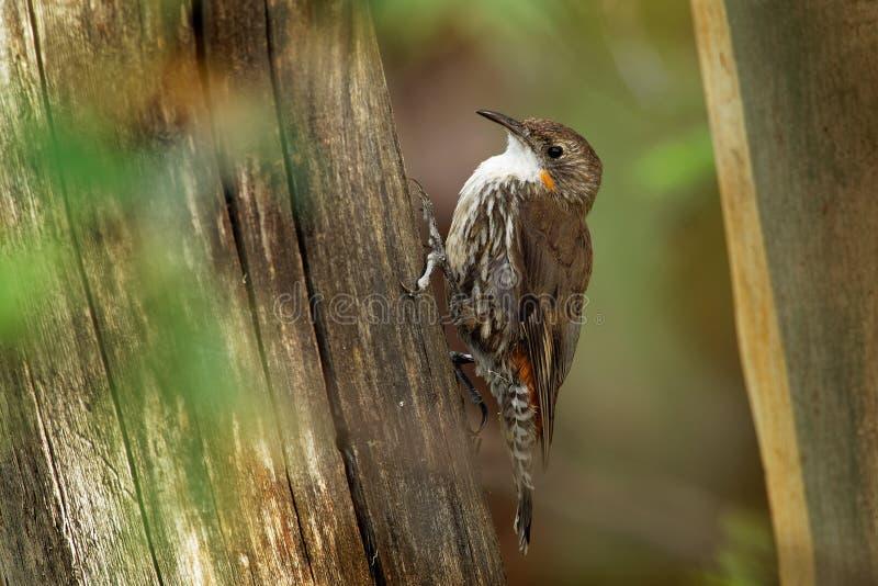 Bruine picumnus kleine vogel van Treecreeper - Climacteris-, grootste Australasian treecreeper, endemisch aan oostelijk Australië stock afbeeldingen