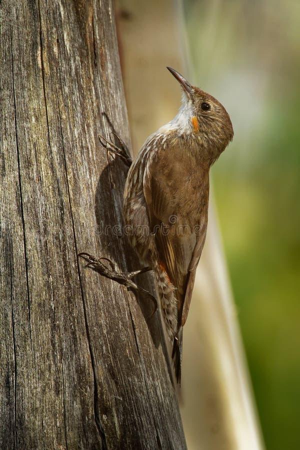 Bruine picumnus kleine vogel van Treecreeper - Climacteris-, grootste Australasian treecreeper, endemisch aan oostelijk Australië royalty-vrije stock fotografie