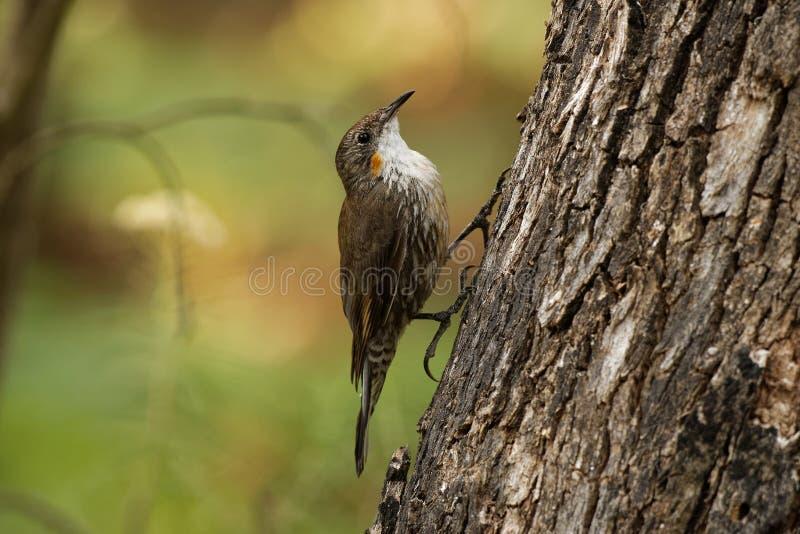 Bruine picumnus kleine vogel van Treecreeper - Climacteris-, grootste Australasian treecreeper stock fotografie