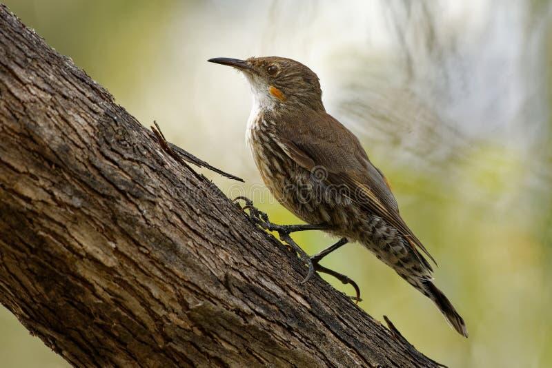 Bruine picumnus kleine vogel van Treecreeper - Climacteris-, grootste Australasian treecreeper royalty-vrije stock afbeelding
