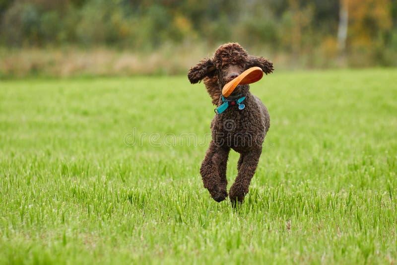 Bruine poedel die met een stuk speelgoed op het gras in de zomer lopen royalty-vrije stock foto
