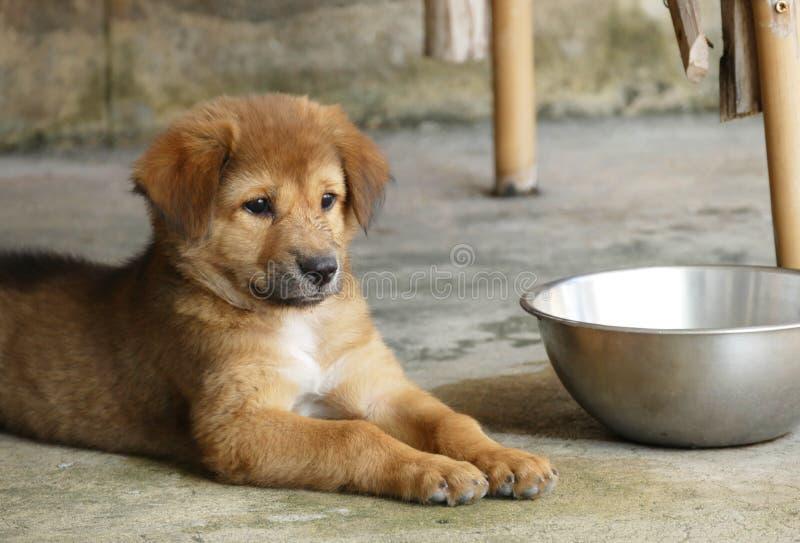 Bruine Puppyhond die naast Waterkom liggen royalty-vrije stock afbeelding