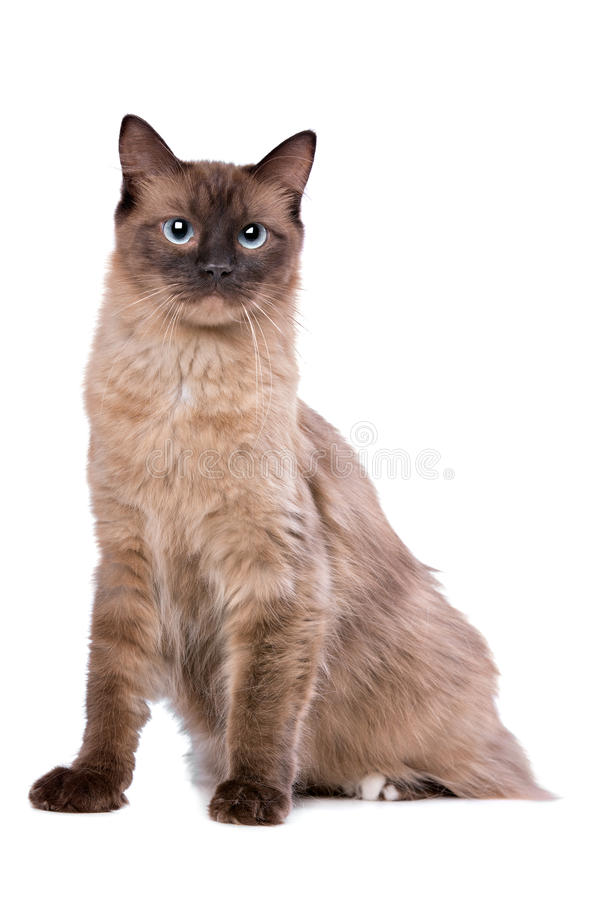 Bruine Ragdoll-kat stock foto