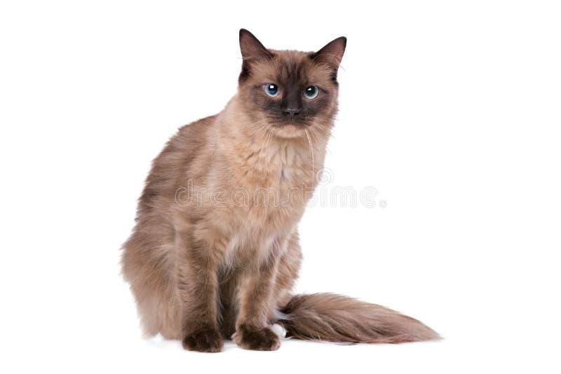 Bruine Ragdoll-kat stock afbeelding