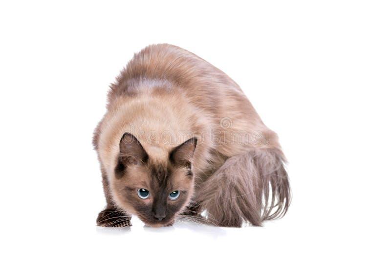 Bruine Ragdoll-kat stock afbeeldingen