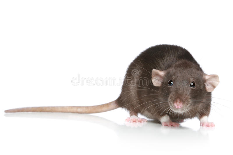 Bruine Rat stock fotografie