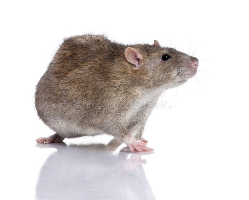 Bruine Rat royalty-vrije stock fotografie