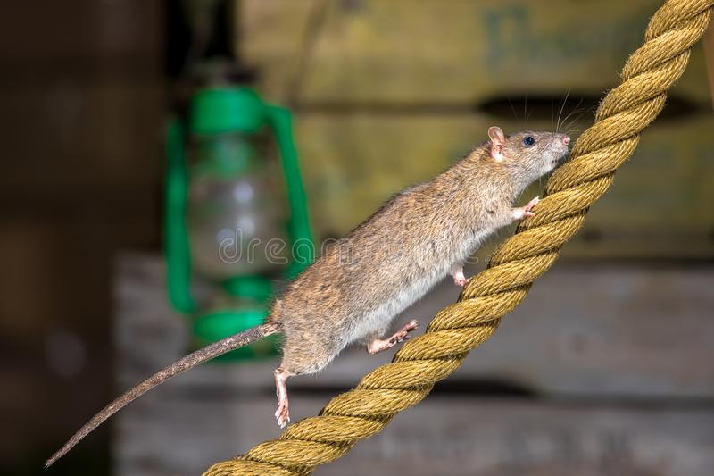 Bruine rat op ankerkabel stock afbeelding