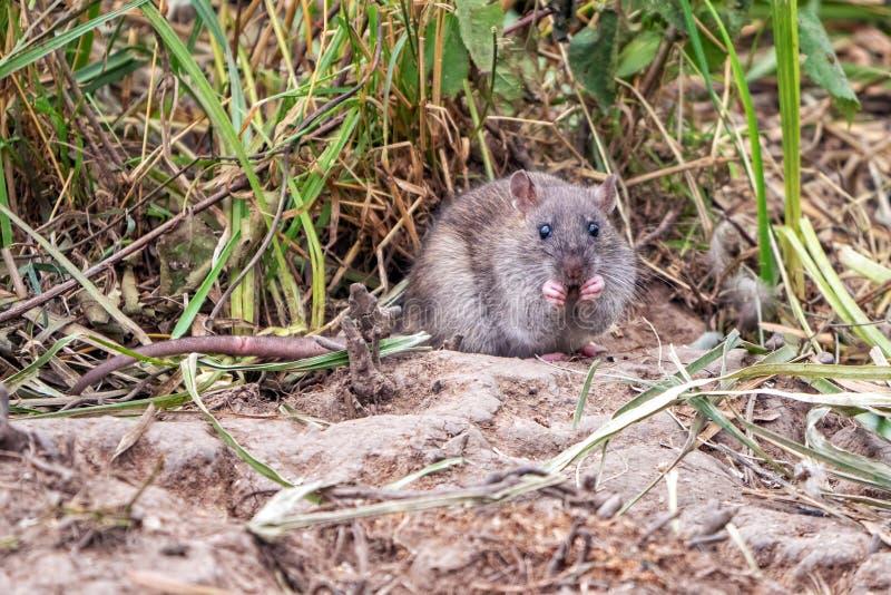 Bruine Rat - Rattus-norvegicus die onder vegetatie eten stock afbeeldingen