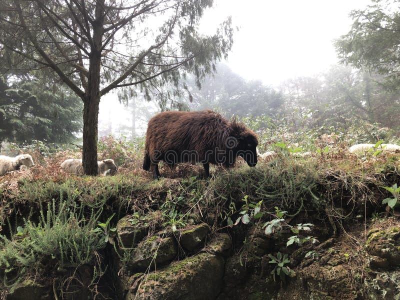 Bruine schapen die bij de kant van de weg in de mist weiden royalty-vrije stock afbeelding