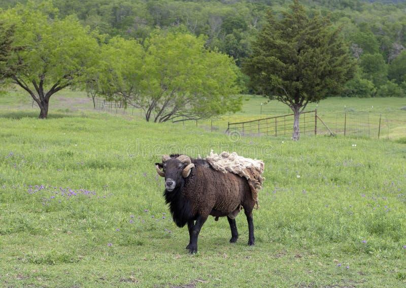 Bruine schapen met hoornen en extra deken van bont in een weiland in Ennis, Texas stock foto