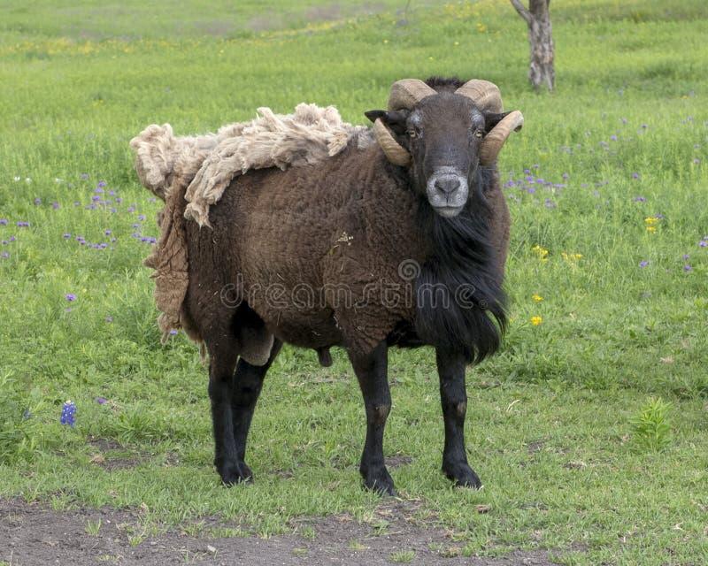 Bruine schapen met hoornen en extra deken van bont in een weiland in Ennis, Texas royalty-vrije stock foto