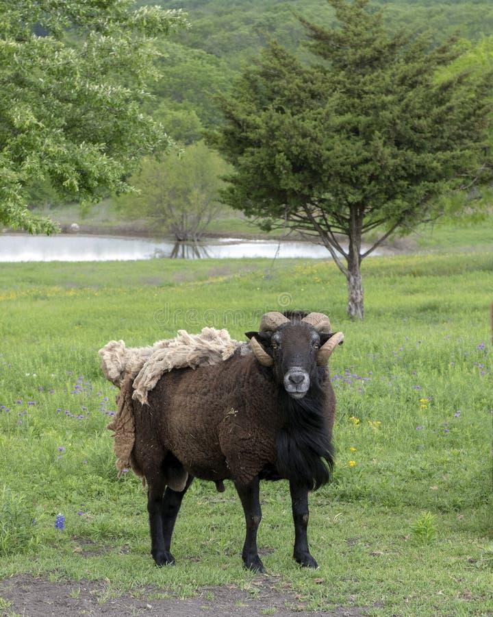 Bruine schapen met hoornen en extra deken van bont in een weiland in Ennis, Texas royalty-vrije stock afbeelding