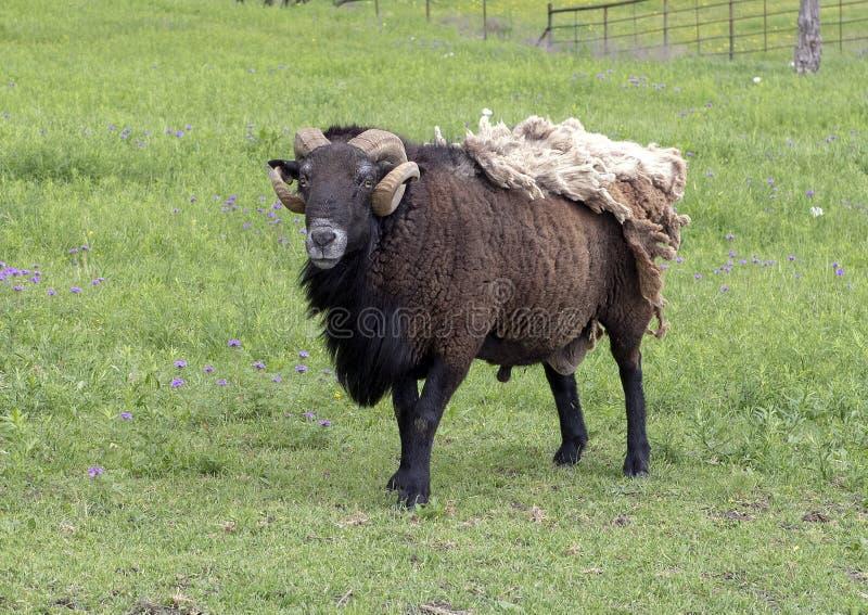Bruine schapen met hoornen en extra deken van bont in een weiland in Ennis, Texas stock afbeelding