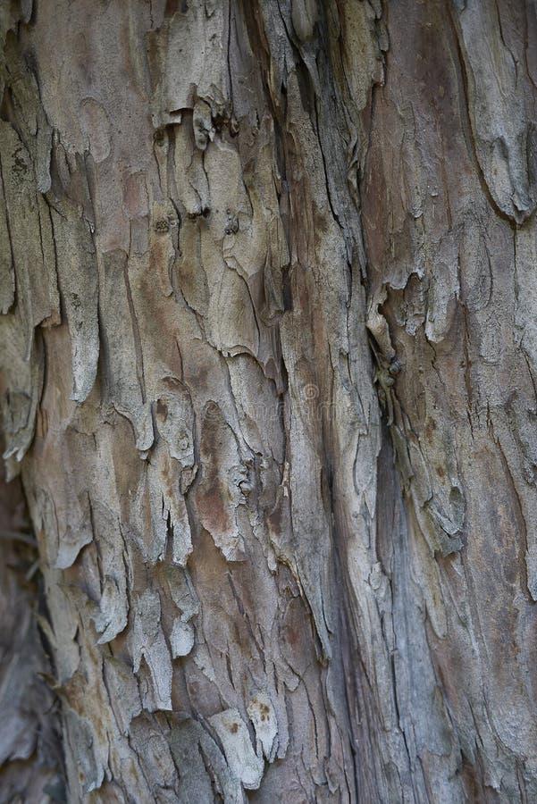 Bruine schors van Taxus baccata royalty-vrije stock afbeeldingen