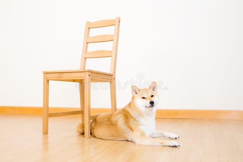 Bruine shiba met stoel stock afbeeldingen