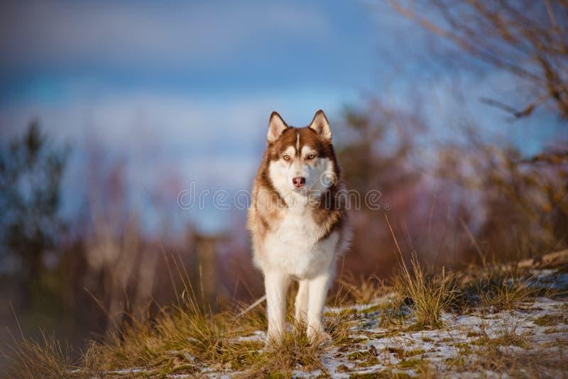 Bruine Siberische schor hond royalty-vrije stock foto's