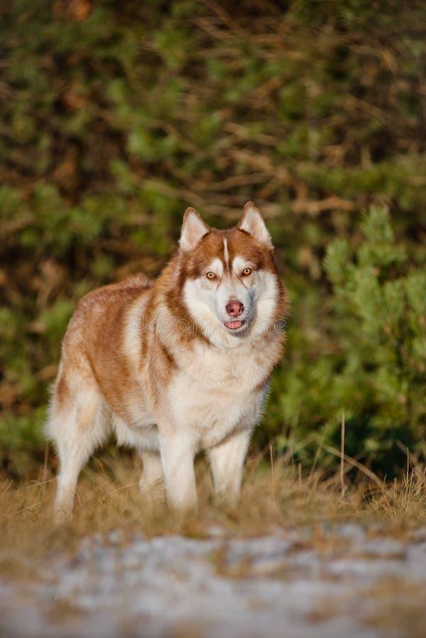 Bruine Siberische schor hond royalty-vrije stock fotografie