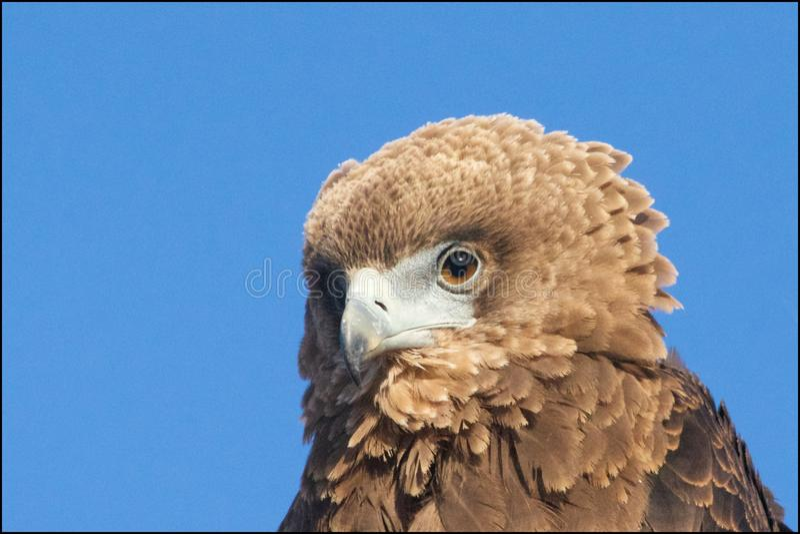 Bruine Slang Eagle stock fotografie