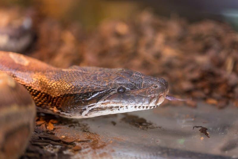 Bruine slang in terrarium voor huisdecor stock foto