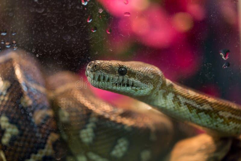 Bruine slang in terrarium voor huisdecor royalty-vrije stock foto's
