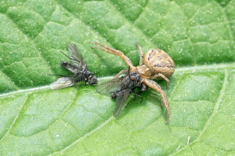 Bruine spin met gevangen vliegen op een blad stock foto's