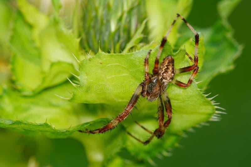 Bruine spinzitting op een groene distel royalty-vrije stock foto