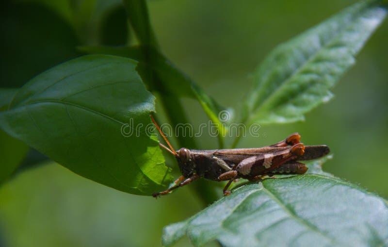 Bruine sprinkhaan op het groene gras royalty-vrije stock afbeeldingen