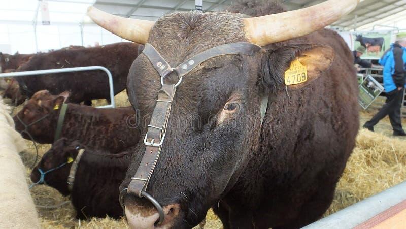 Bruine stier met grote hoornen en koeien met een ring in zijn neus bij een show in Ierland met oormerk royalty-vrije stock afbeeldingen