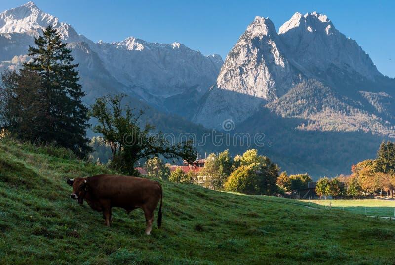 Bruine stier op de bergweide royalty-vrije stock afbeeldingen