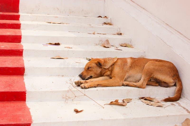 Bruine Straathonden die op de treden van de tempel liggen royalty-vrije stock afbeeldingen