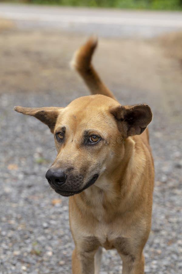 Bruine Thaise hond stock foto's
