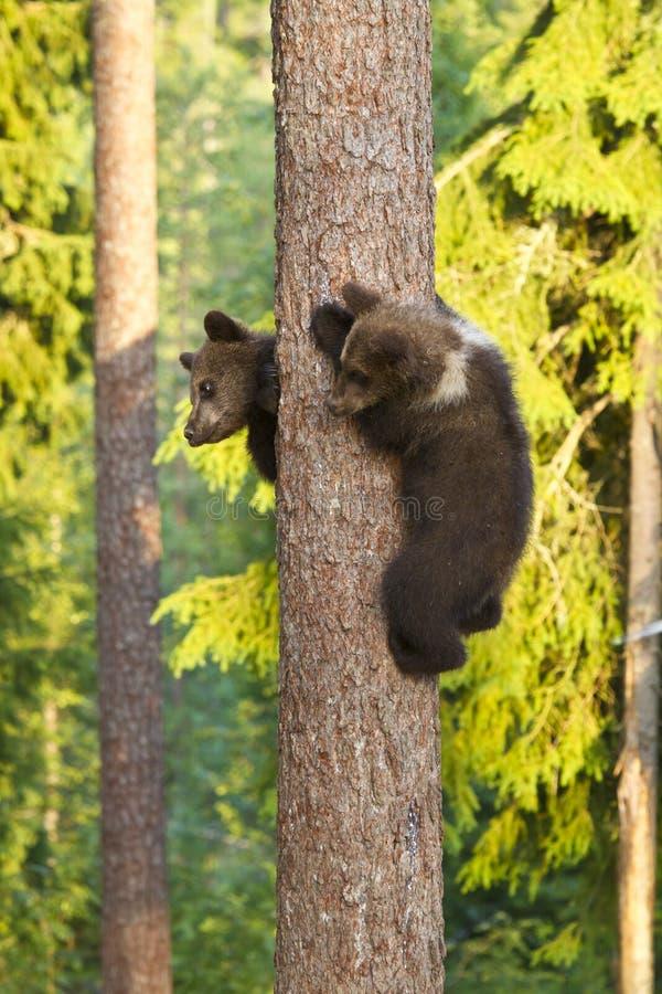 Bruine twee dragen welpen die (arctos Ursus) een boom beklimmen royalty-vrije stock fotografie
