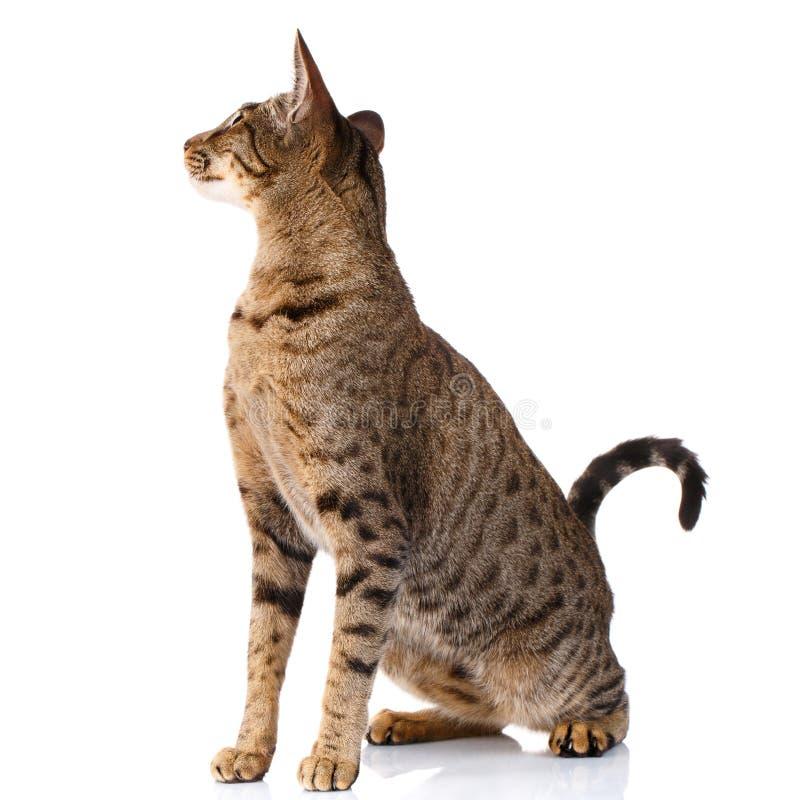 Bruine tweekleurige kat op een witte achtergrond het achterover leunen en het kijken royalty-vrije stock afbeelding
