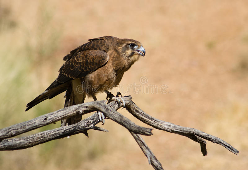 Bruine Valk (Falco beridora) stock afbeelding