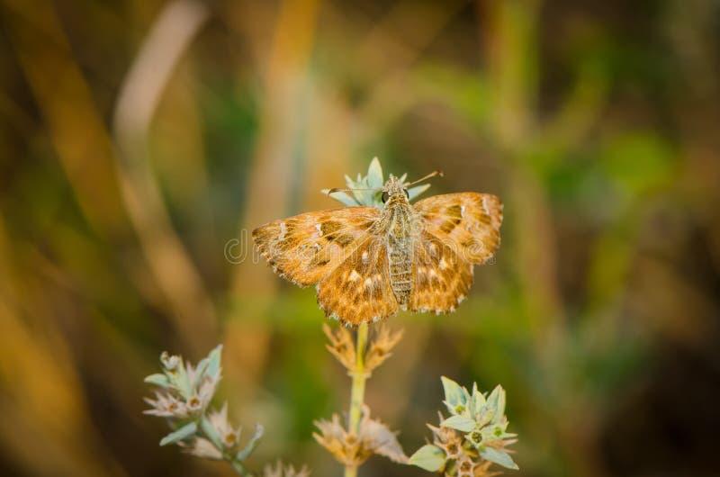 Bruine vlinder die op het gras rusten stock foto's